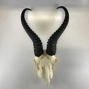 springbok-horns-on-skull-unmounted